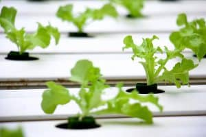 How To Grow Hydroponic Herbs