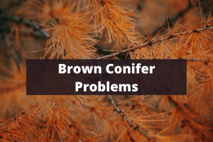 Brown Conifers Problems