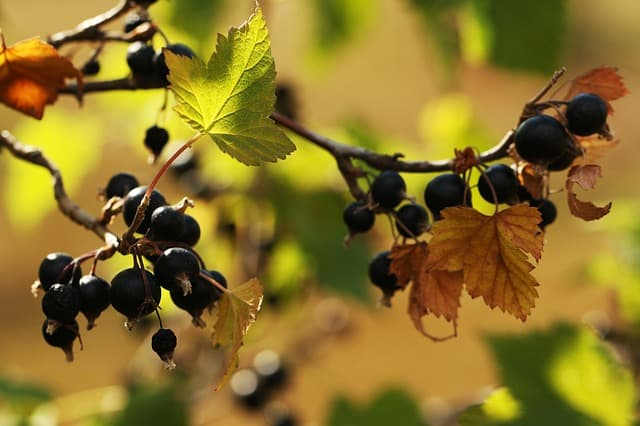 Tips for Growing Healthy Blackcurrants