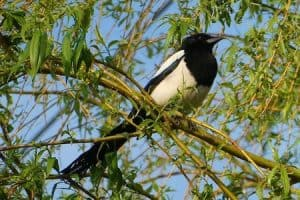 How Do You Get Rid Of Magpies