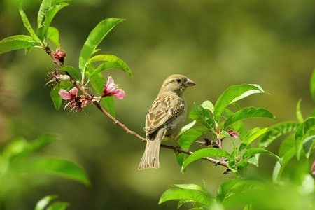 Do House Sparrows Migrate?