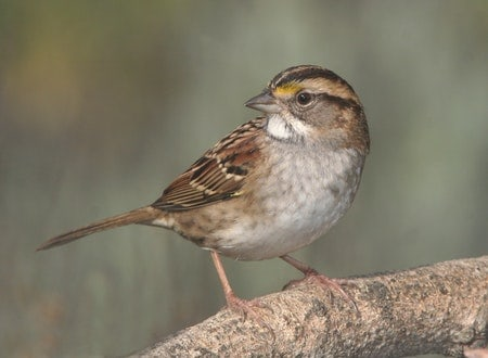Where Sparrows Migrate in winter?