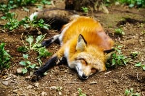 How To Deter Foxes From Your Garden
