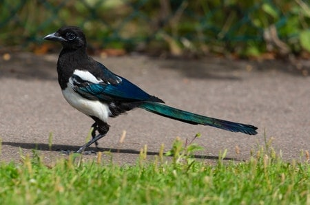 Best Way To Get Rid of Magpies