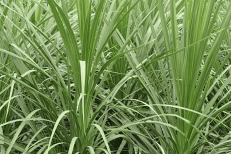Cordyline: Problems, Pests, Diseases and Solutions
