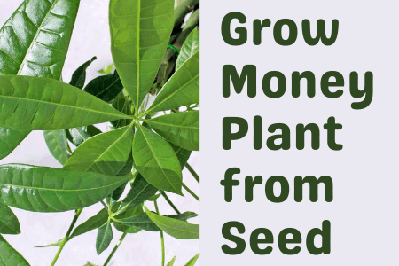Grow Money Plant from Seed