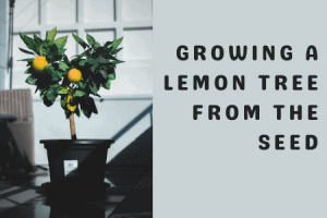 Growing a Lemon Tree from the Seed
