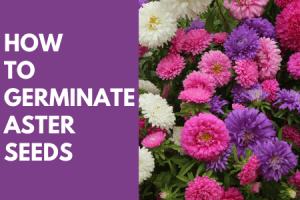 How to Germinate Aster Seeds