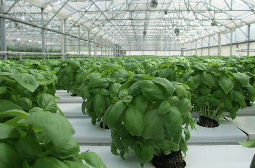 Growing Basil Indoors From Seed