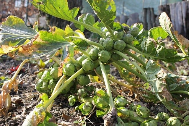 grow brussel sprouts from seeds