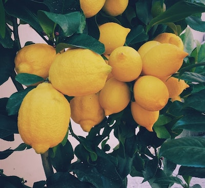 Maintaining the Lemon Tree through the Seasons