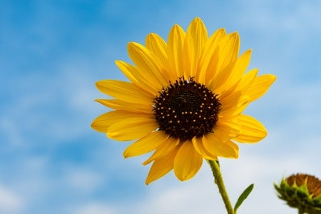 When to Plant Sunflower Seeds
