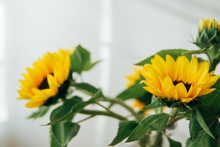 Why Should You Plant Sunflowers?
