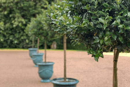 How to look After Standard Bay Trees