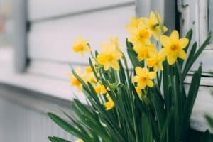 When is it Too Late to Plant Daffodil Bulbs