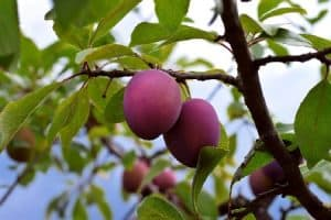 How Do You Grow a Plum Tree from a Seed