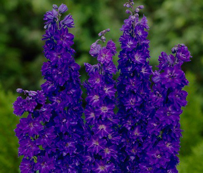 Supporting The Tall Delphinium Flowers