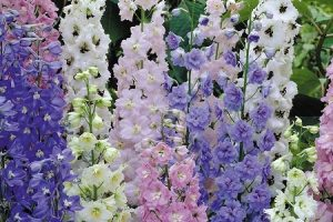 Can Delphiniums grow in Pots?